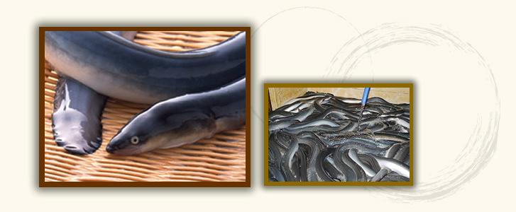 天然鰻・養殖鰻
